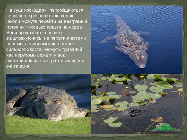 На суші крокодили переміщаються неспішною розвалистою ходою. Інколи можуть пе...