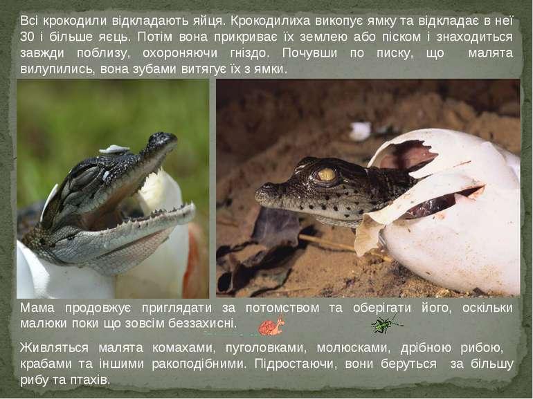 Всі крокодили відкладають яйця. Крокодилиха викопує ямку та відкладає в неї 3...