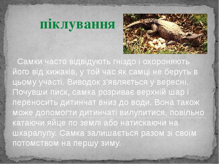 Самки часто відвідують гніздо і охороняють його від хижаків, у той час як сам...
