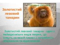 Золотистий левовий тамарин - один з найрідкісніших видів тварин, що живуть на...