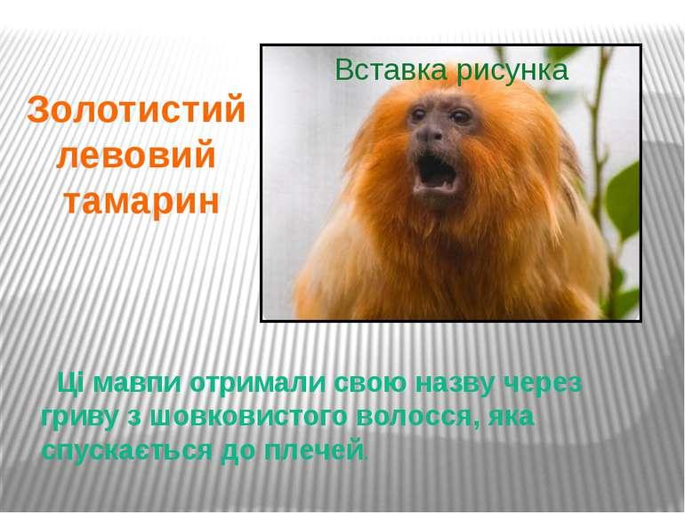 Ці мавпи отримали свою назву через гриву з шовковистого волосся, яка спускаєт...