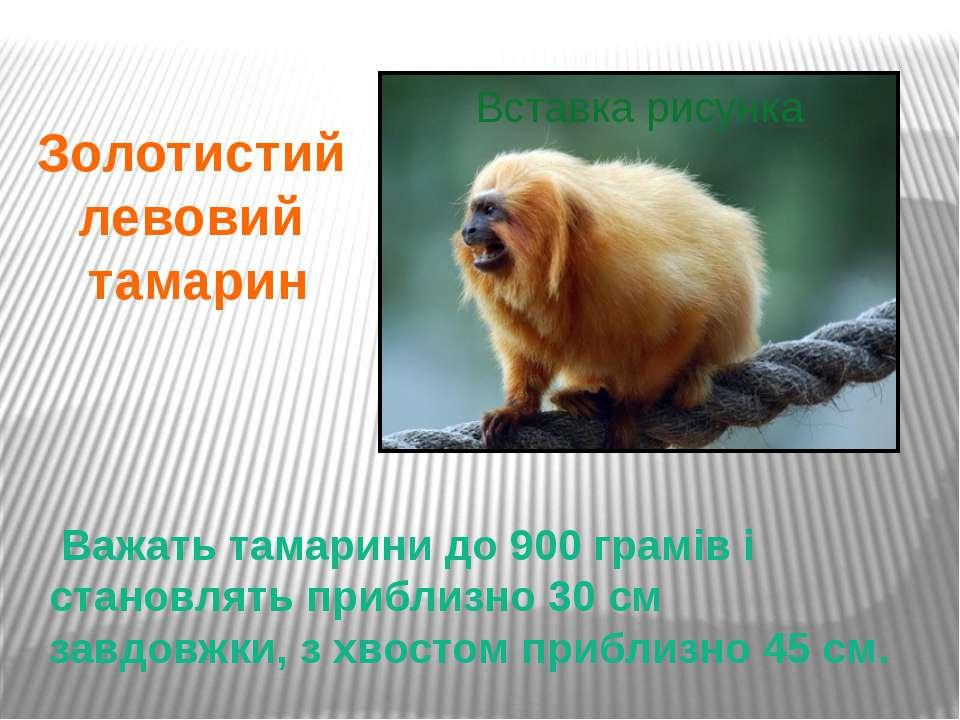 Важать тамарини до 900 грамів і становлять приблизно 30 см завдовжки, з хвост...