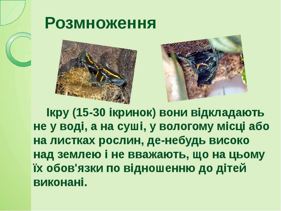 Ікру (15-30 ікринок) вони відкладають не у воді, а на суші, у вологому місці ...