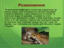 Розмноження Розмноження жаби-аги в основному приурочене до сезону дощів, коли...