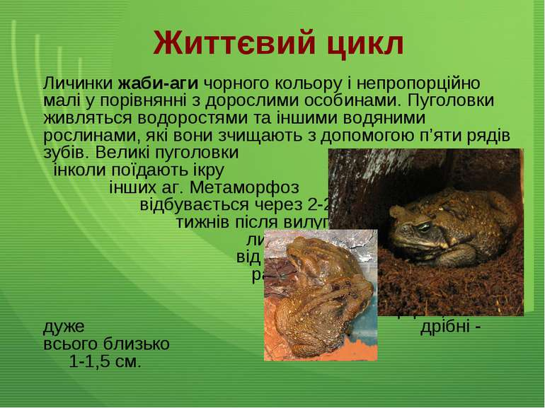 Життєвий цикл Личинки жаби-аги чорного кольору і непропорційно малі у порівня...