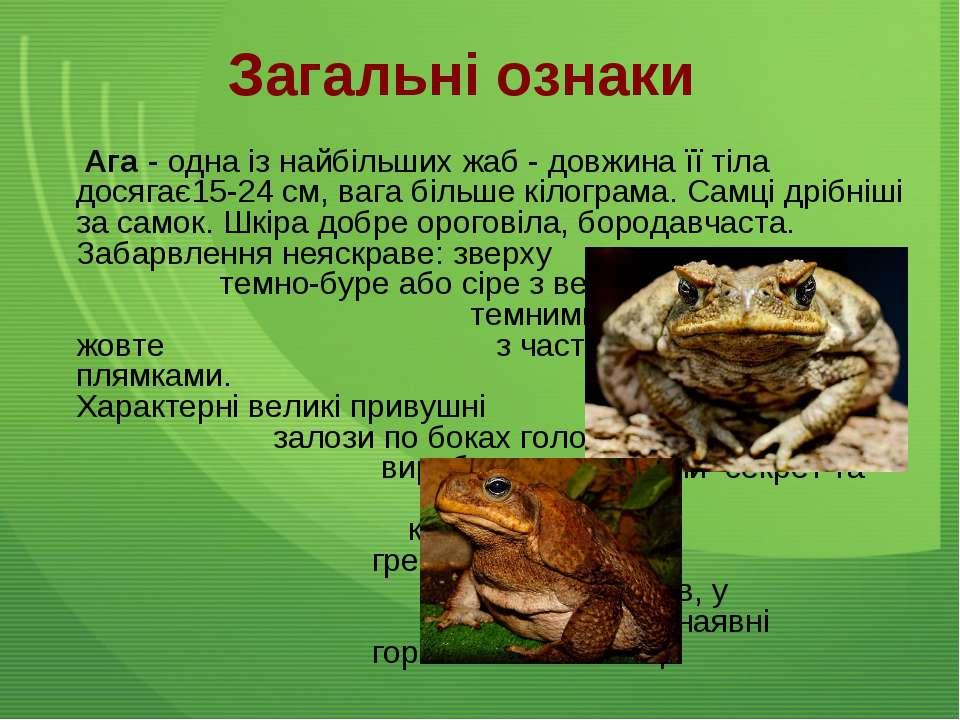Загальні ознаки Ага - одна із найбільших жаб - довжина її тіла досягає15-24 с...