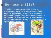 * Що таке епіфіз? Епіфіз - шишкоподібне тіло - пінеальна залоза - конусоподіб...