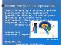 * Функцією епіфізу є регуляція добових біологічних ритмів, ендокринних функці...