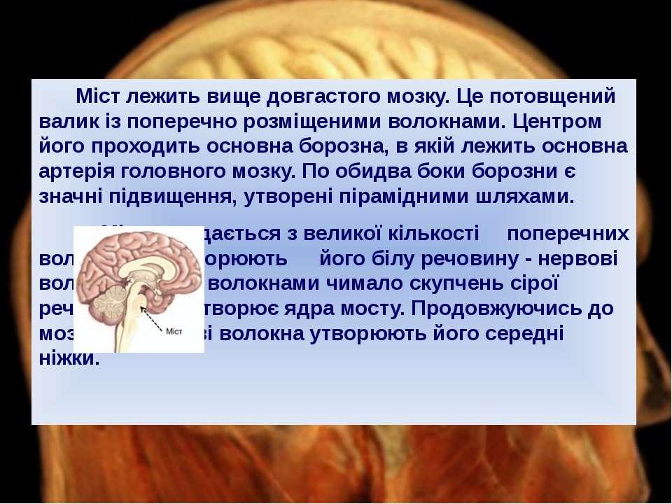 Міст лежить вище довгастого мозку. Це потовщений валик із поперечно розміщени...