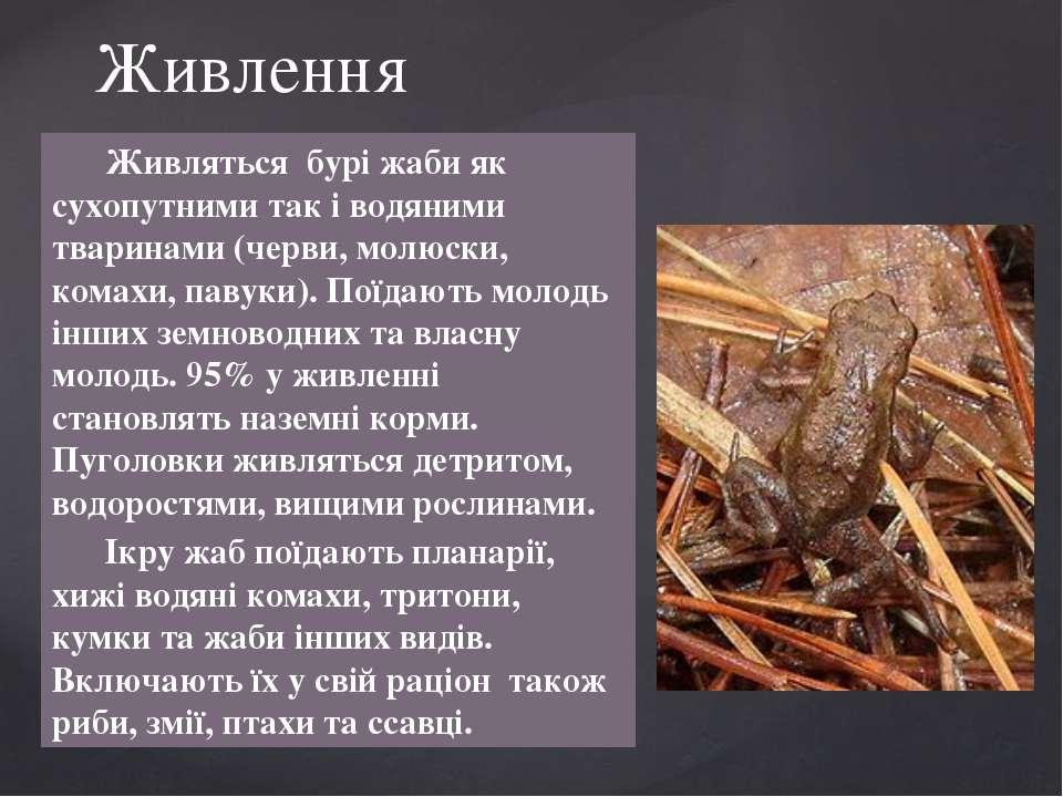 Живляться бурі жаби як сухопутними так і водяними тваринами (черви, молюски, ...