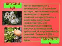 Квітки знаходяться у верхівкових 2-16 квіткових китицях. Квітконіжки короткі,...