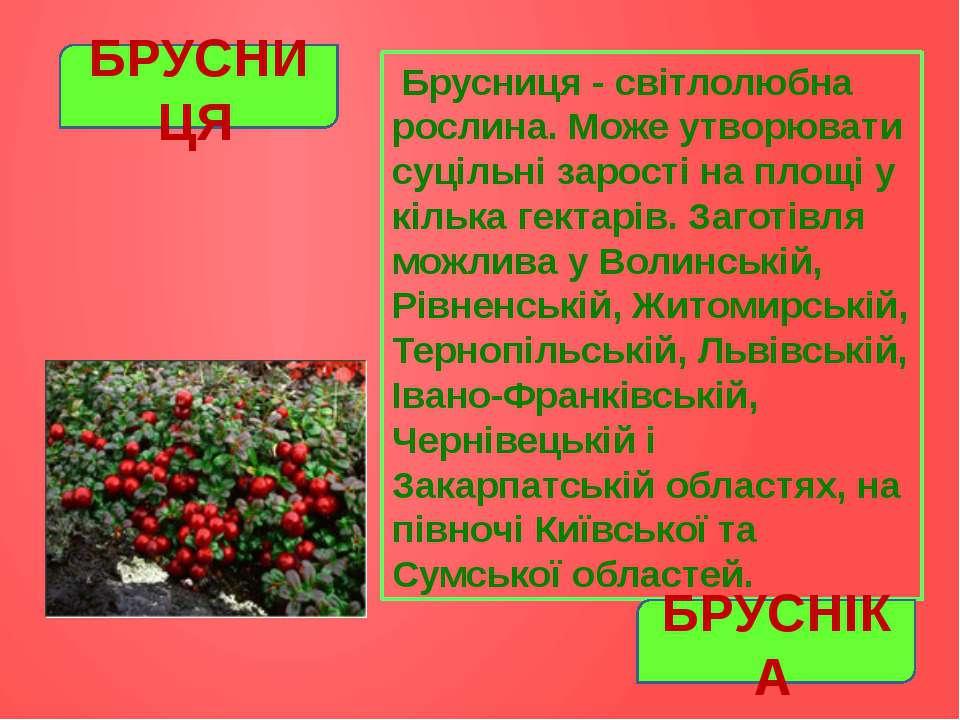 Брусниця - світлолюбна рослина. Може утворювати суцільні зарості на площі у к...