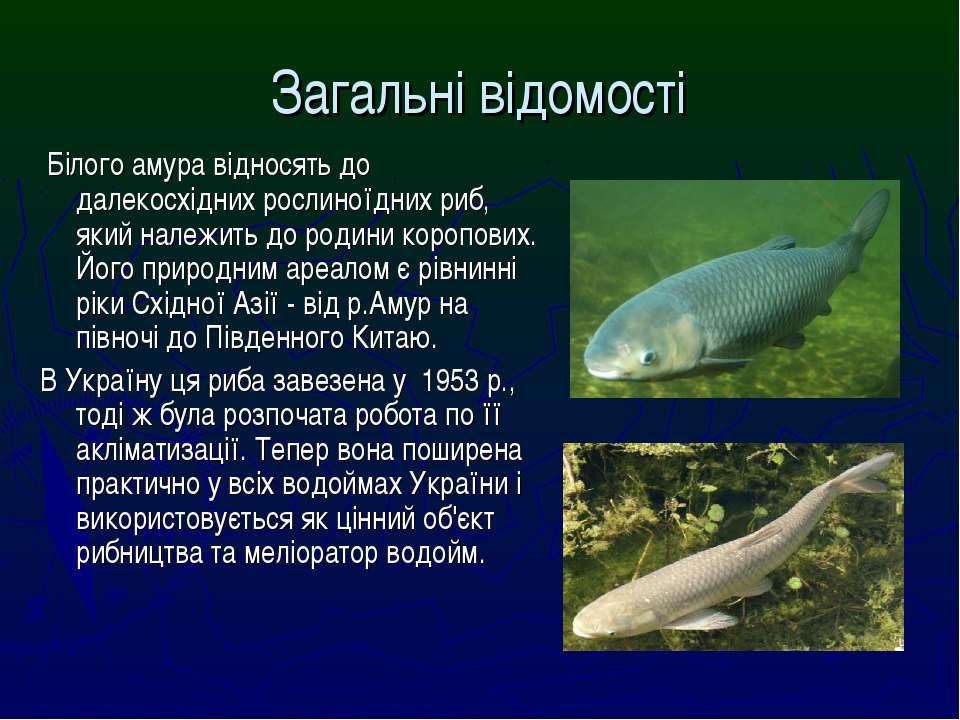 Загальні відомості Білого амура відносять до далекосхідних рослиноїдних риб, ...