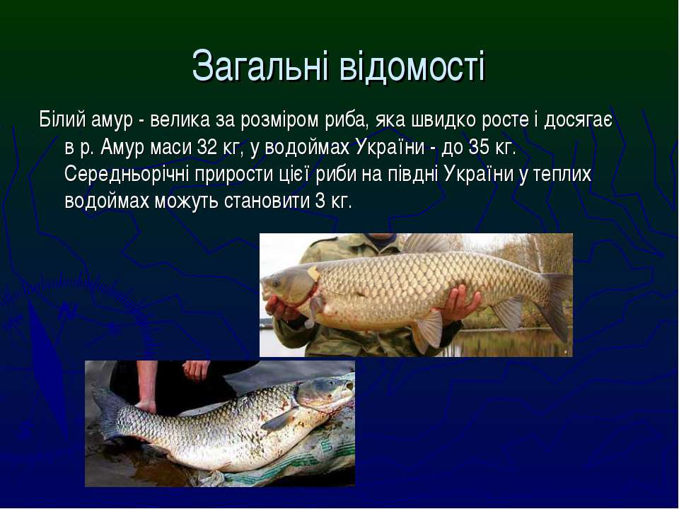 Білий амур - велика за розміром риба, яка швидко росте і досягає в р. Амур ма...