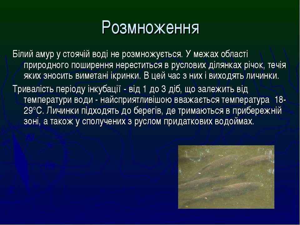 Розмноження Білий амур у стоячій воді не розмножується. У межах області приро...