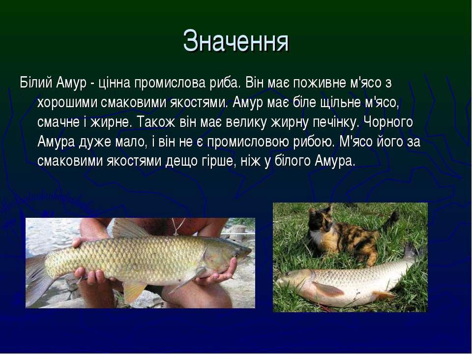 Білий Амур - цінна промислова риба. Він має поживне м'ясо з хорошими смаковим...