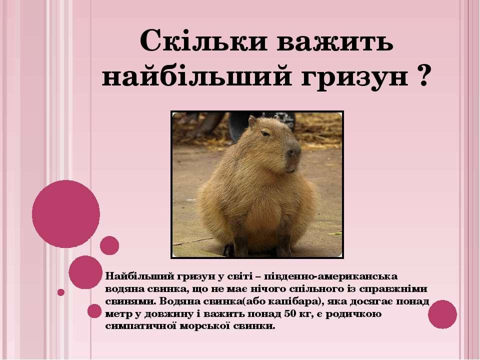 Найбільший гризун у світі – південно-американська водяна свинка, що не має ні...