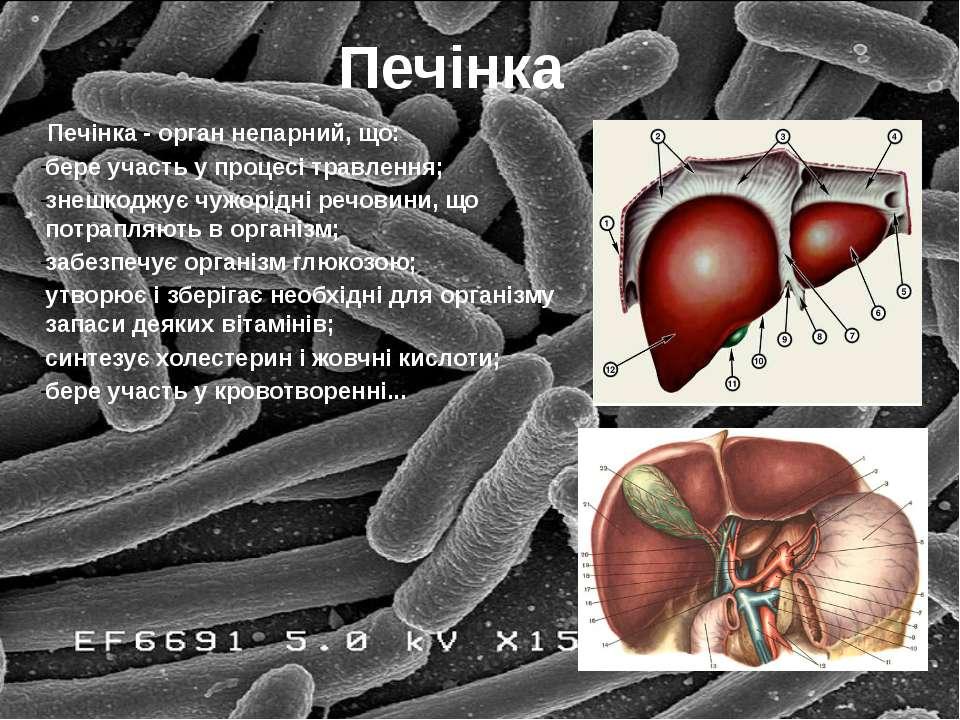 Печінка Печінка - орган непарний, що: бере участь у процесі травлення; знешко...
