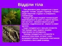Відділи тіла Тіло річкового рака складається з трьох відділів: голови, грудей...