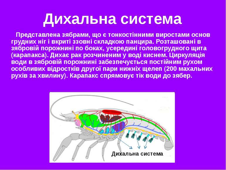 Дихальна система Представлена зябрами, що є тонкостінними виростами основ гру...