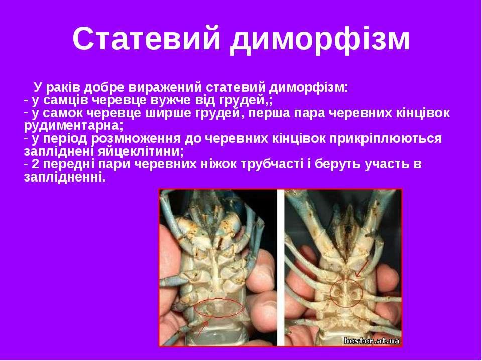 У раків добре виражений статевий диморфізм: - у самців черевце вужче від груд...