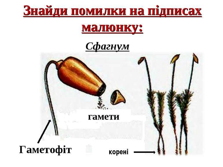 Знайди помилки на підписах малюнку: корені Сфагнум Гаметофіт гамети