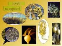 БУРІ водорості
