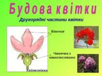 Другорядні частини квітки Віночок Чашечка з чашолистками Квітконіжка
