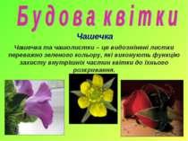 Чашечка Чашечка та чашолистки – це видозмінені листки переважно зеленого коль...