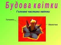 Головні частини квітки Маточка Тичинки