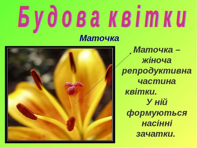 Маточка Маточка – жіноча репродуктивна частина квітки. У ній формуються насін...