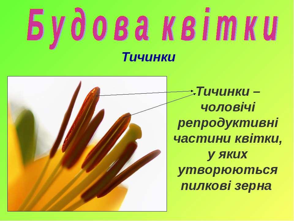 Тичинки Тичинки – чоловічі репродуктивні частини квітки, у яких утворюються п...