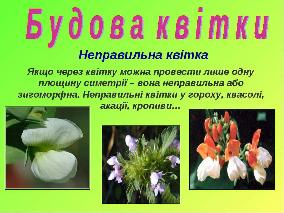 Неправильна квітка Якщо через квітку можна провести лише одну площину симетрі...