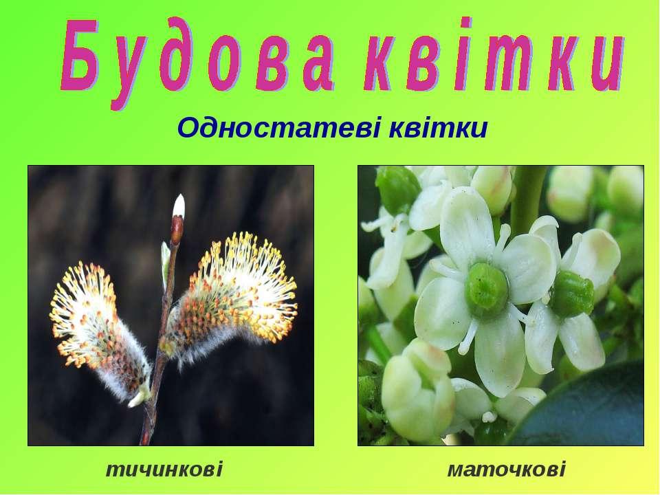 тичинкові маточкові Одностатеві квітки