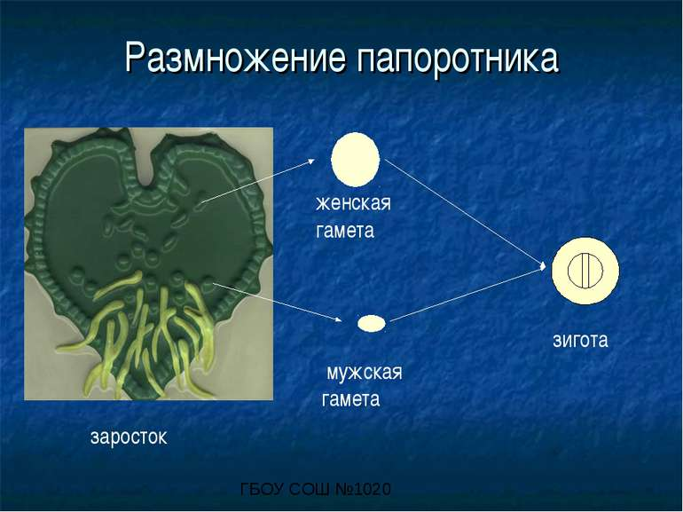 Размножение папоротника заросток мужская гамета женская гамета зигота ГБОУ СО...
