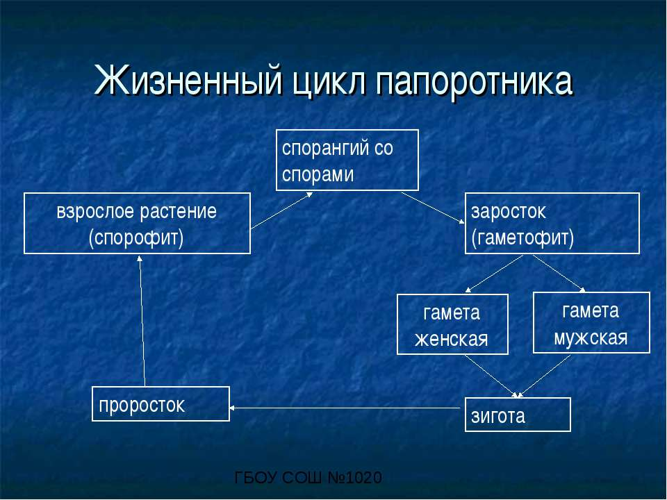 Жизненный цикл папоротника взрослое растение (спорофит) спорангий со спорами ...