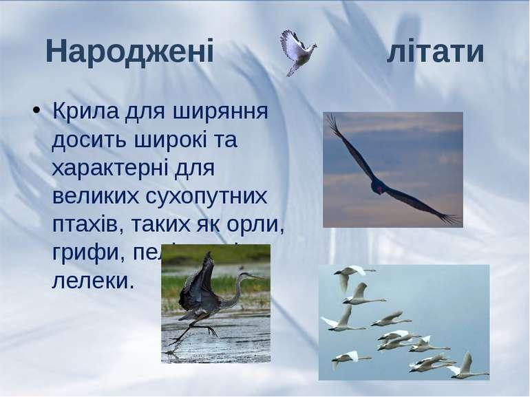 Крила для ширяння досить широкі та характерні для великих сухопутних птахів, ...
