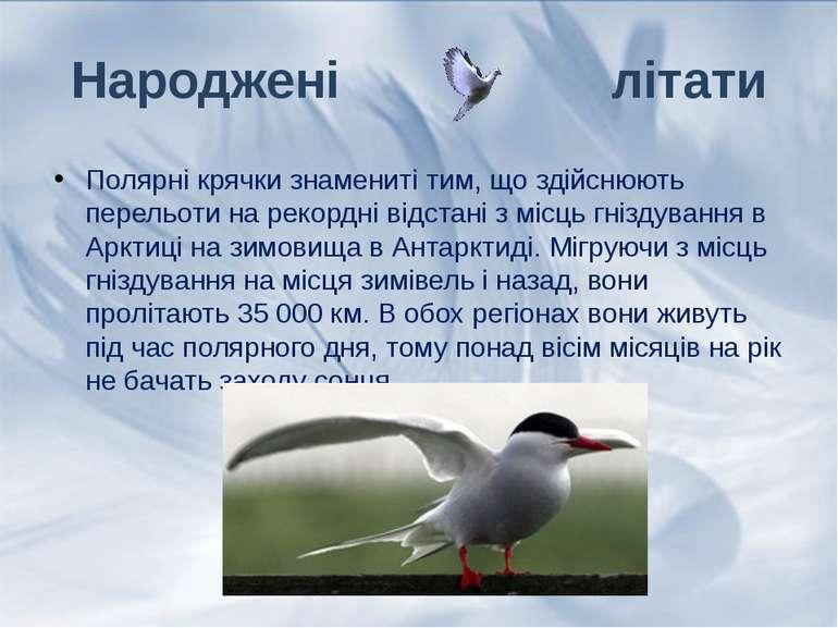 Полярні крячки знамениті тим, що здійснюють перельоти на рекордні відстані з ...