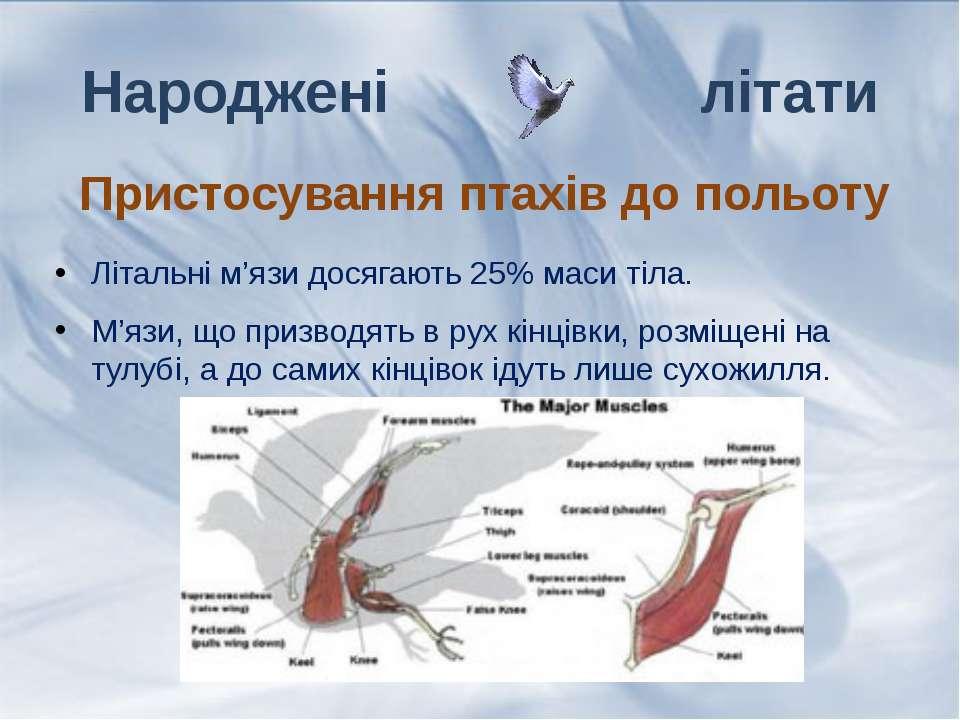 Літальні м'язи досягають 25% маси тіла. М'язи, що призводять в рух кінцівки, ...