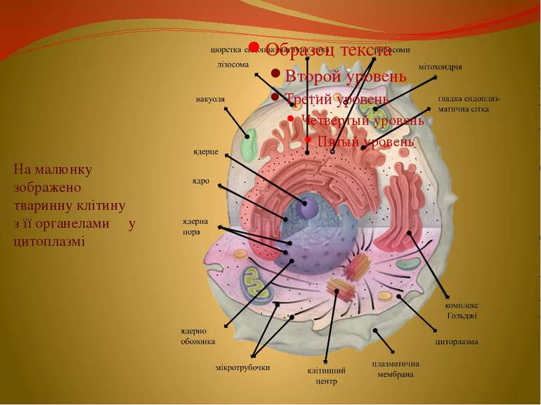 На малюнку зображено тваринну клітину з її органелами у цитоплазмі
