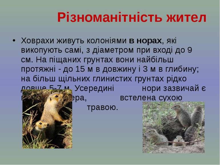 Ховрахи живуть колоніями в норах, які викопують самі, з діаметром при вході д...