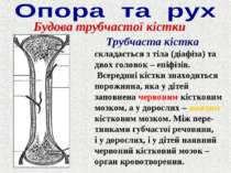 Будова трубчастої кістки Трубчаста кістка складається з тіла (діафіза) та дво...