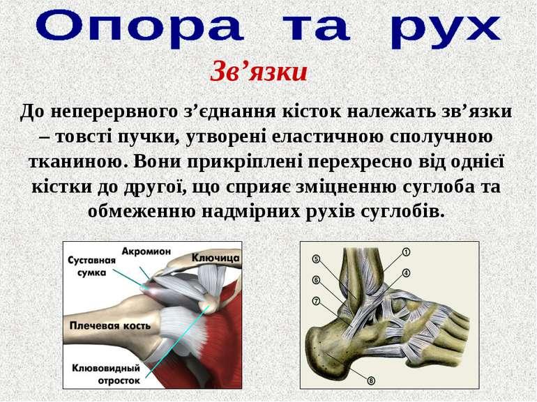 До неперервного з'єднання кісток належать зв'язки – товсті пучки, утворені ел...