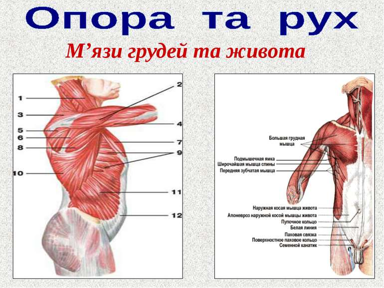 М'язи грудей та живота