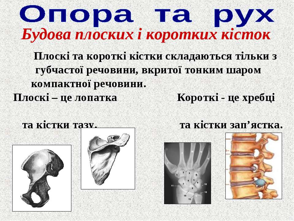 Будова плоских і коротких кісток Плоскі та короткі кістки складаються тільки ...