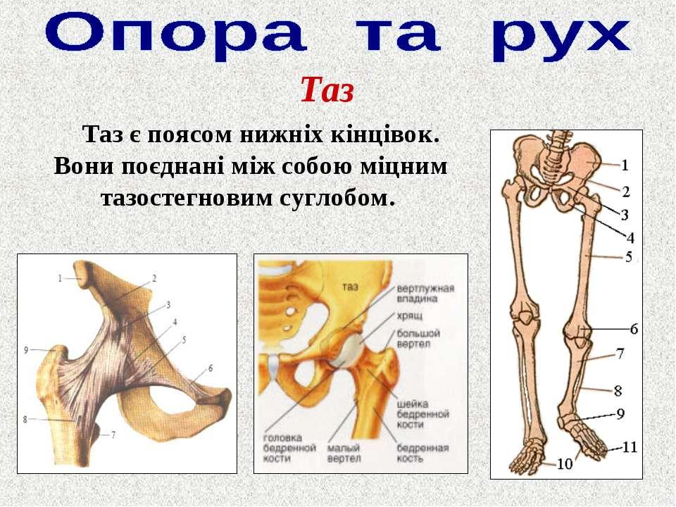 Таз Таз є поясом нижніх кінцівок. Вони поєднані між собою міцним тазостегнови...