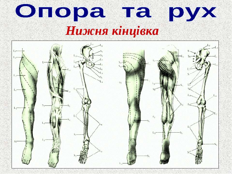 Нижня кінцівка