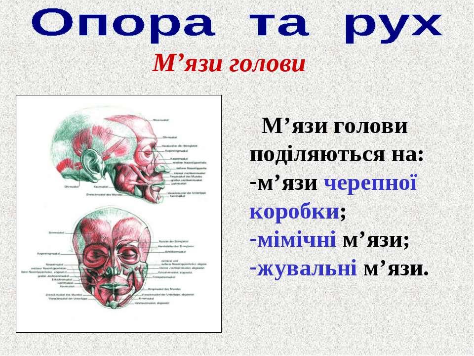 М'язи голови М'язи голови поділяються на: м'язи черепної коробки; мімічні м'я...