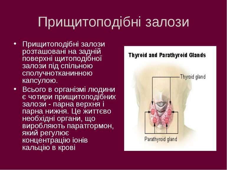 Прищитоподібні залози Прищитоподібні залози розташовані на задній поверхні щи...