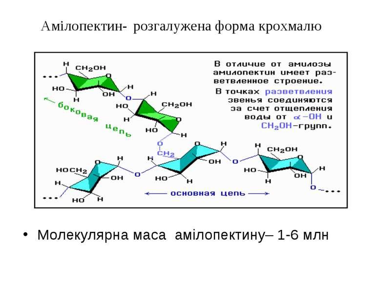 Амілопектин- розгалужена форма крохмалю Молекулярна маса амілопектину– 1-6 млн